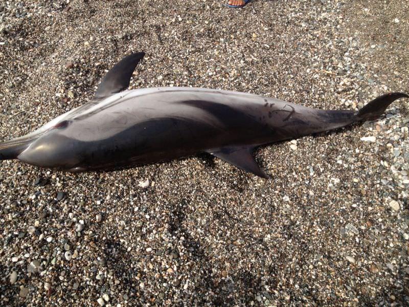 Delfino spiaggiato a Letojanni