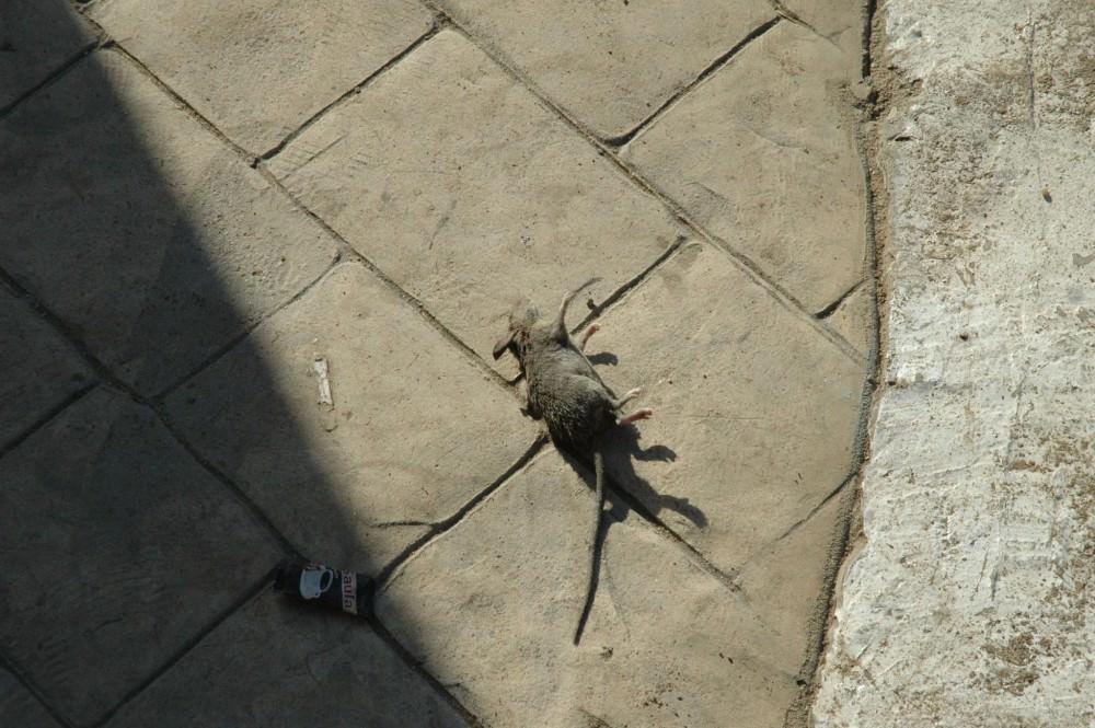 Invasione di topi a Marina di Ragusa