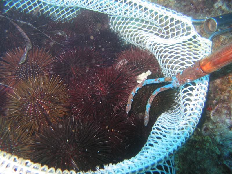 Vendeva abusivamente ricci di mare vivi e senza bollo sanitario: echinodermi sequestrati e rigettati in mare