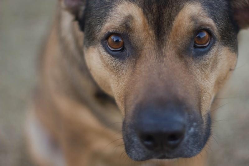 Cane-eroe, salva la vita al neo padrone attaccato da pitbull e muore