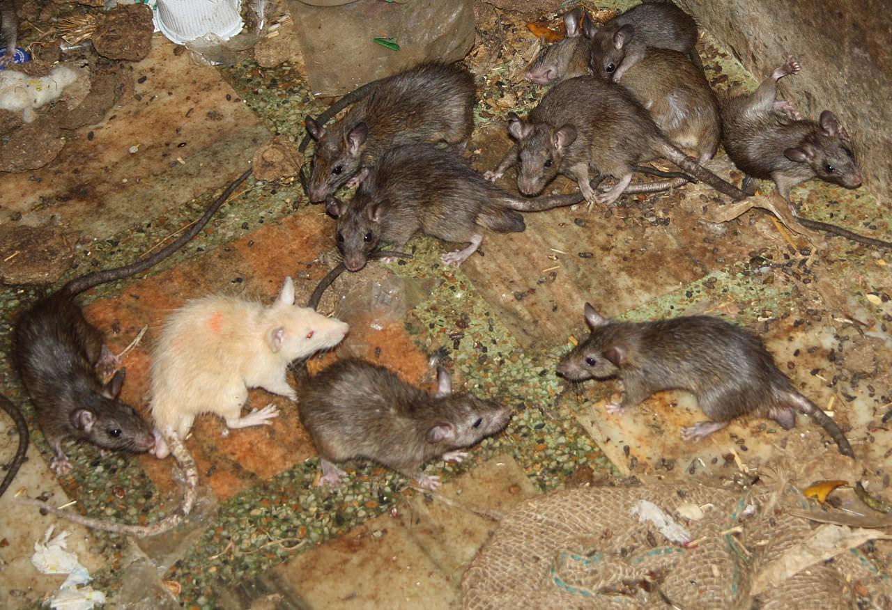 Rosolini, topi fra i bambini nella scuola materna