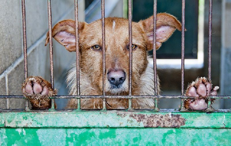 Cavalli denutriti e 43 cani in gabbia con testa di cinghiale come pasto: maltrattamenti nel Catanese