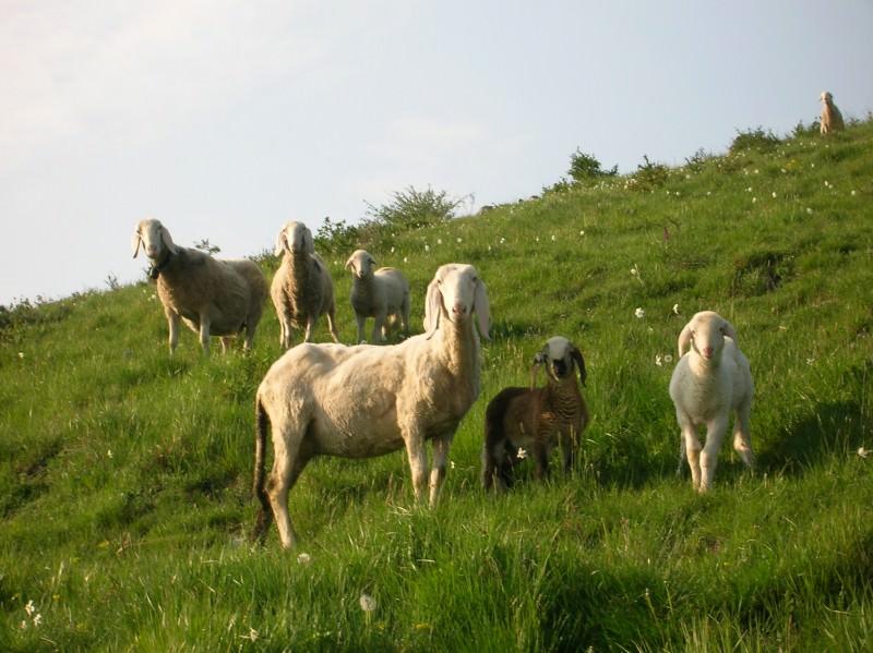 Entrano con le pecore in un terreno e minacciano il proprietario: denunciati due uomini nel Catanese