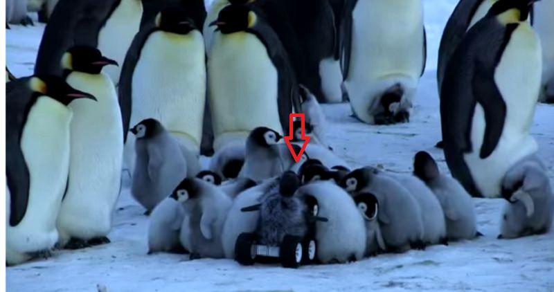 Guardate come ingannano i pinguini…