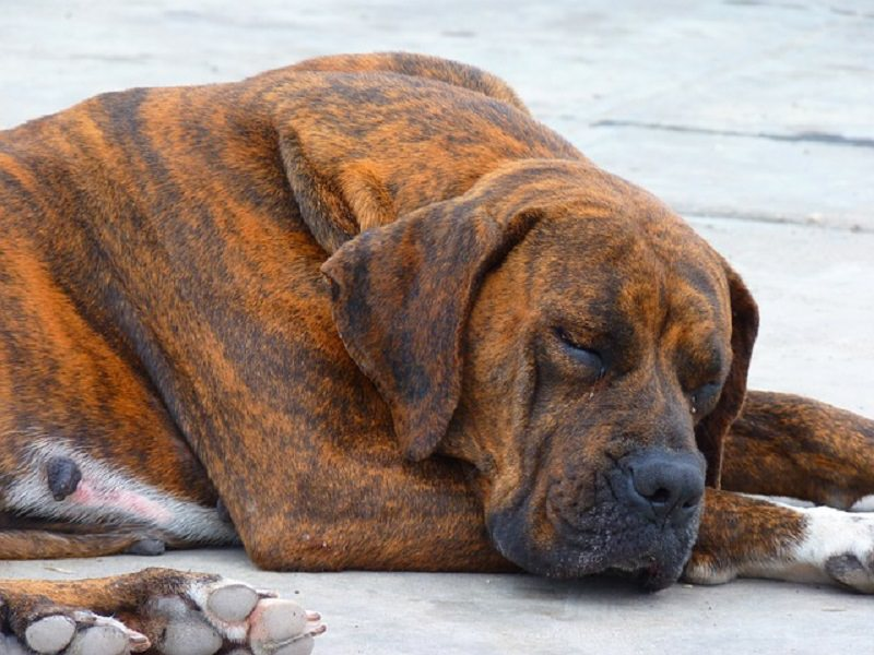 Lega cane randagio all'auto e lo trascina fino a ucciderlo: denunciato 69enne
