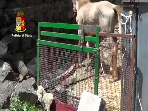 Noto, cavalli maltrattati per organizzare le corse clandestine
