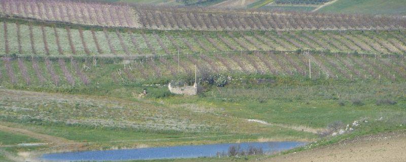 Una coltivazione di frumento biologico nel terreno confiscato alla mafia