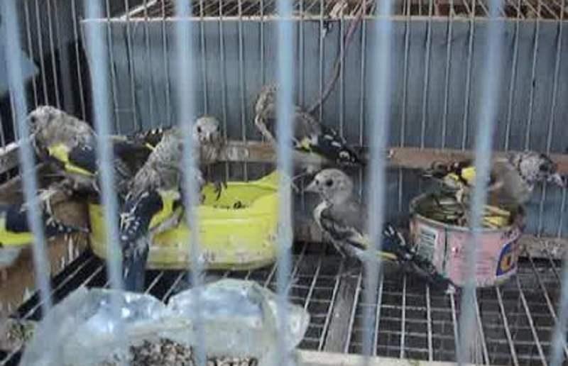 In macchina con mille uccelli di specie protetta. Il proprietario denunciato per maltrattamento di animali
