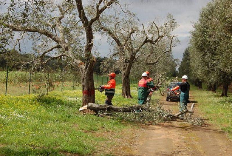 Agricoltore cade mentre raccoglie olive e muore