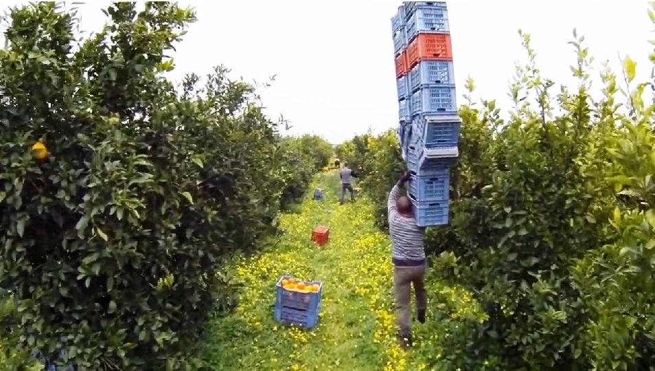 """Agrumi, lavoro pulito e """"filiera sporca"""" nelle campagne siciliane"""