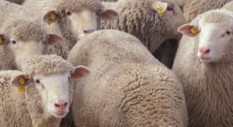 Dalle armi e la droga alle capre e agli agnelli. Sequestrati a Paternò 800 animali, rischio brucellosi
