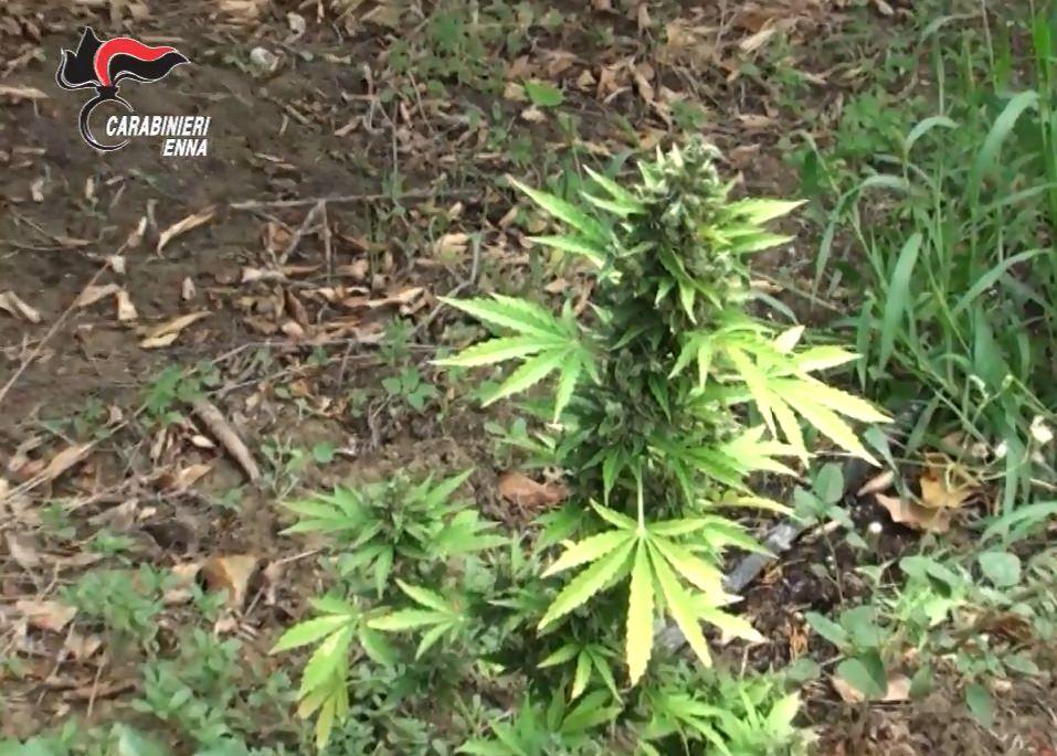 Deteneva 3 piante di marijuana e sostanze stupefacenti: donna arrestata dalla Gdf