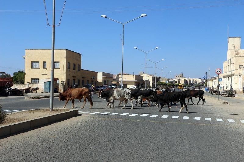 Bovini e animali in strada: il sindaco di Monterosso autorizza polizia a sparare