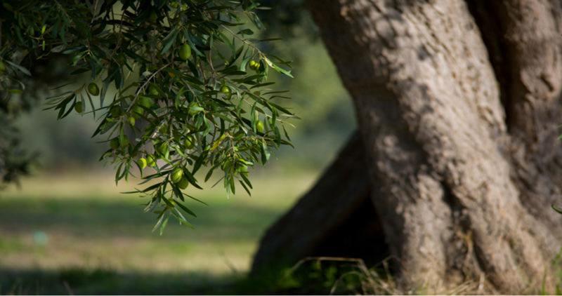 Il curioso caso di Caltabellotta: devastano 80 alberi di ulivo, denunciati