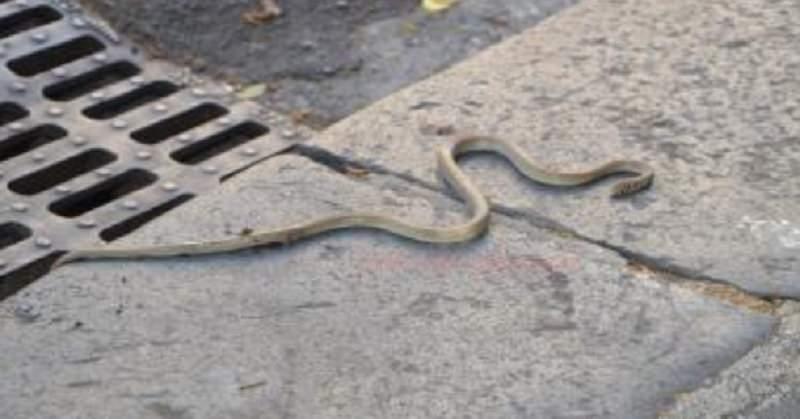 Città invasa dai serpenti, residenti esasperati
