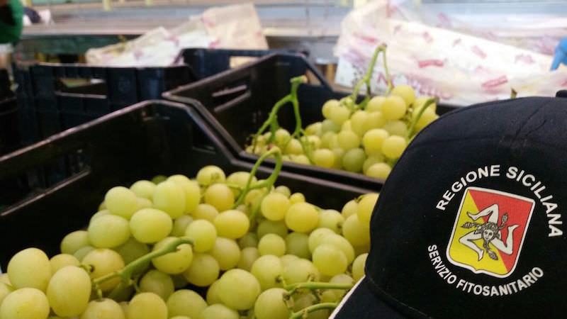 """Cracolici: """"Riparte da Mazzarrone l'esportazione di uva Italia in Canada"""""""