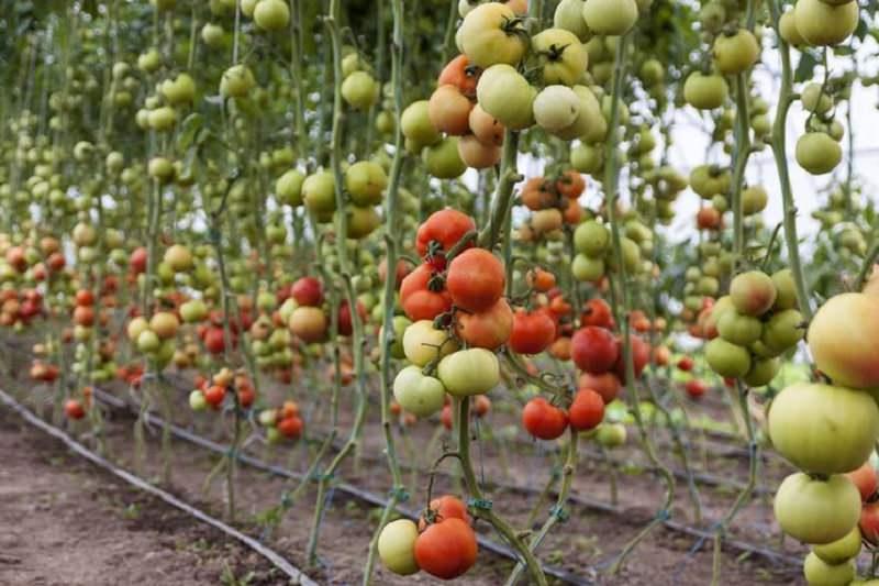 Virus nel Ragusano: a rischio coltivazioni di zucchine e pomodori