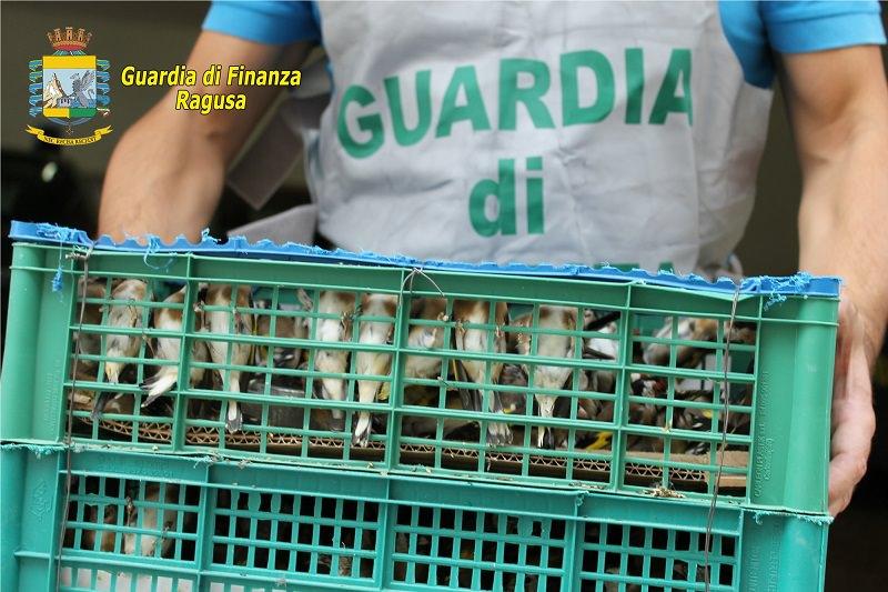 Pozzallo: sequestrati oltre mille cardellini per commercio clandestino