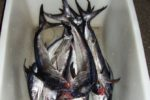 Una tonnellata di pesce di dubbia provenienza all'interno di un furgone: scatta il sequestro, sanzioni sino a 10mila euro