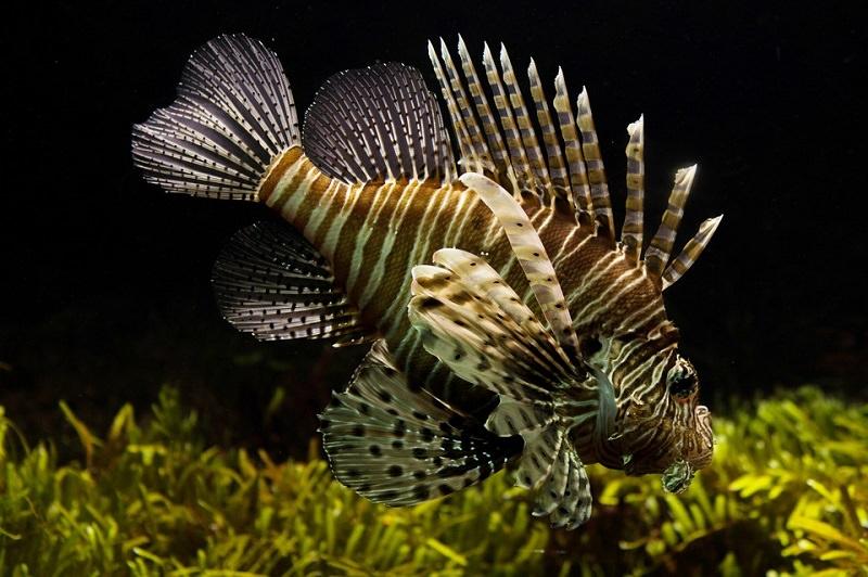Il pesce scorpione in Sicilia, scatta l'allarme: è velenoso
