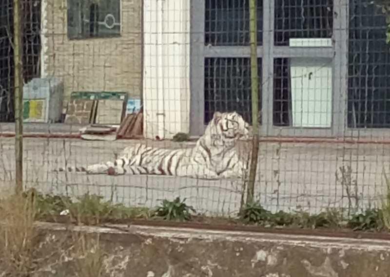 """Paura a Monreale, Tigre bianca scappa dal circo: """"Attenzione, l'animale è molto pericoloso"""""""