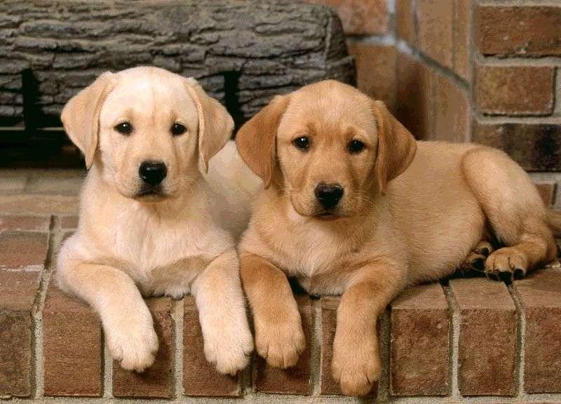 """i 10 cani più belli del mondo"""" occhio alla truffa che gira sui"""