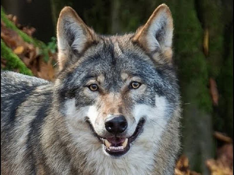 Uccidere il lupo per salvare le pecore? Meditate gente, meditate…