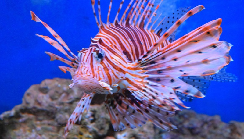 Pesce scorpione in sicilia attenzione un predatore for Quanto vive un pesce rosso
