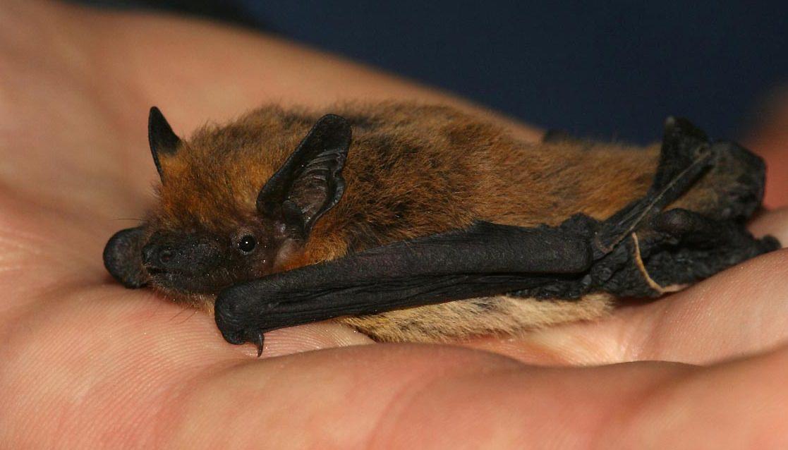 Covid, così i cambiamenti climatici e i pipistrelli hanno dato il via a tutto: una ricerca spiega l'evoluzione