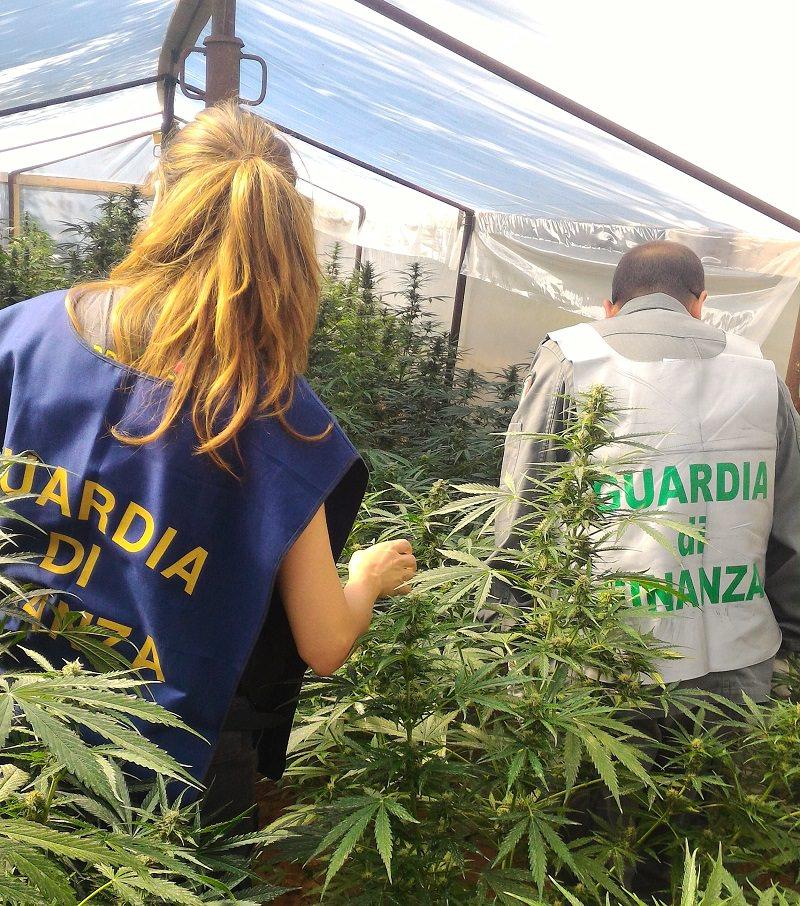 Scoperta maxi piantagione di marijuana: sequestrate oltre 100 piante di quasi due metri d'altezza