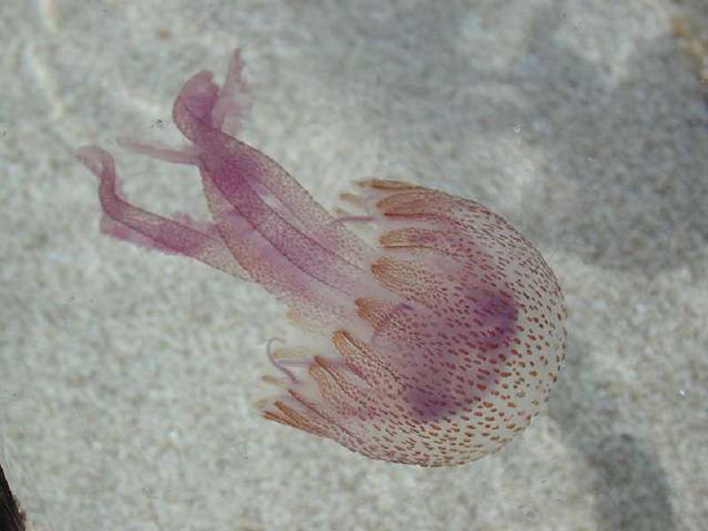 Rischi e rimedi contro le meduse: come combattere bruciore e prurito e cosa evitare