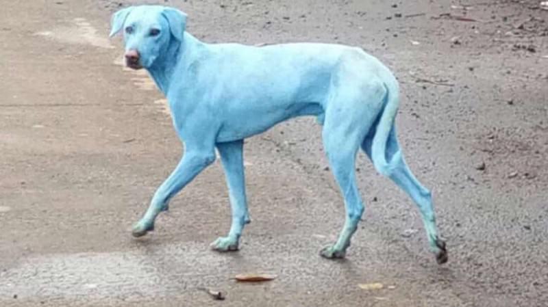 Cani blu in India, le foto fanno il giro dei social ma la causa fa insorgere gli animalisti