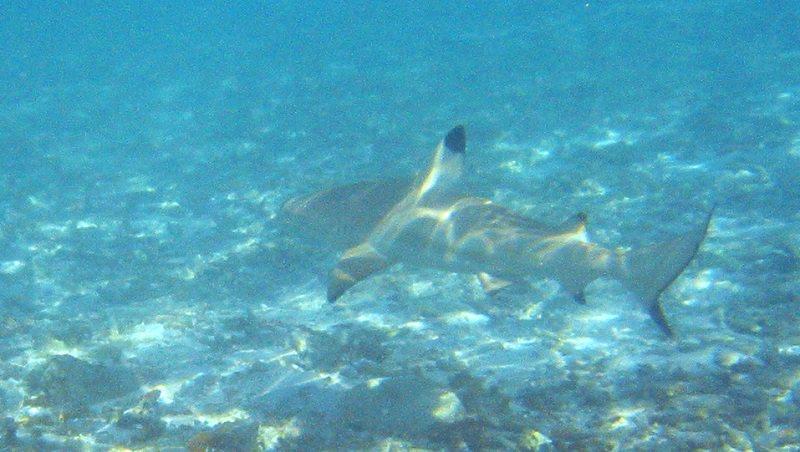 Messina, segnalato uno squalo a 100 metri dalla costa