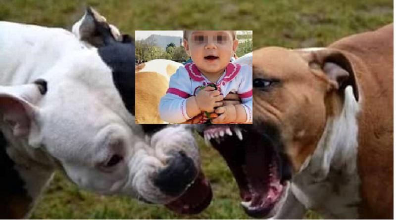 Victoria, azzannata dai due pitbull di famiglia ad appena un anno. Le urla disperate della madre…