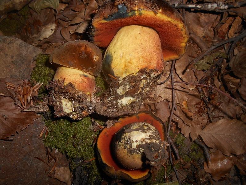 Raccogliere funghi può essere fatale: confonderli è estremamente facile