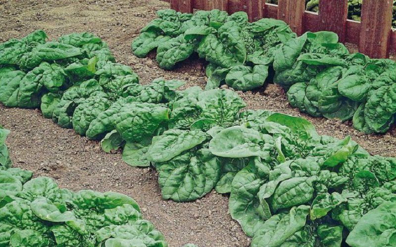 Mangia spinaci comprati al supermercato: grave intossicazione per un 44enne