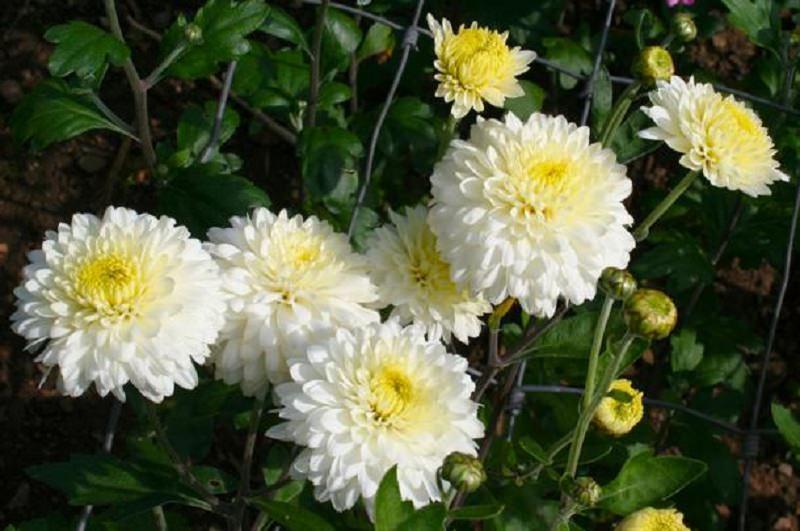 L'antica leggenda del crisantemo, il fiore della commemorazione