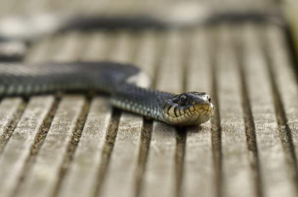 Paura in un'abitazione del Palermitano, rinvenuto un serpente