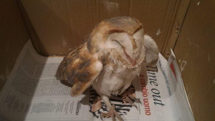 Deperito, in difficoltà e incapace di volare: barbagianni salvato dal WWF