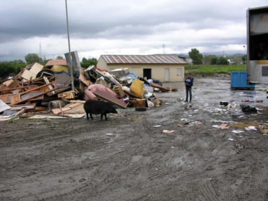 Suini neri in mezzo alla spazzatura e stoccaggio abusivo di rifiuti senza autorizzazione: scatta il sequestro – FOTO e VIDEO