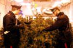 La droga sotto lo Zen 2: i carabinieri sequestrano un'intera piantagione di marijuana