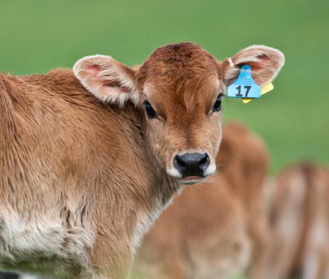 Orrore in campagna: vitelli sbranati da 3 randagi, individuato il proprietario dei cani