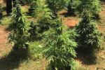 Scoperta piantagione di marijuana, quattro uomini finiscono in manette