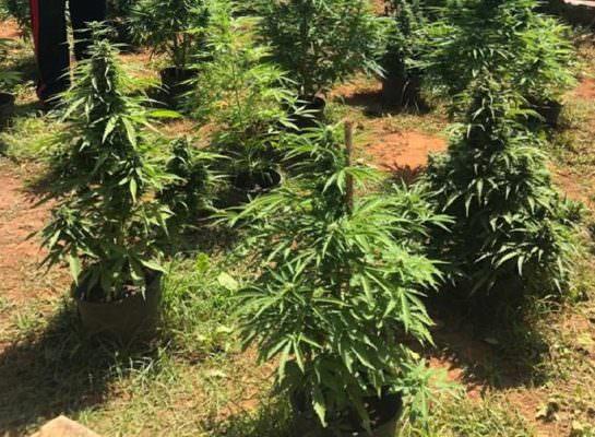 Blitz antidroga, trovate in casa oltre 130 piante di marijuana e allaccio abusivo Enel: arrestato pregiudicato 35enne