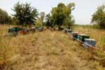Trovate arnie con coleottero infestante: denunciato apicoltore nel Siracusano