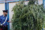 Sorpresi ad annaffiare una piantagione di cannabis indica: in manette tre uomini, due sono padre e figlio