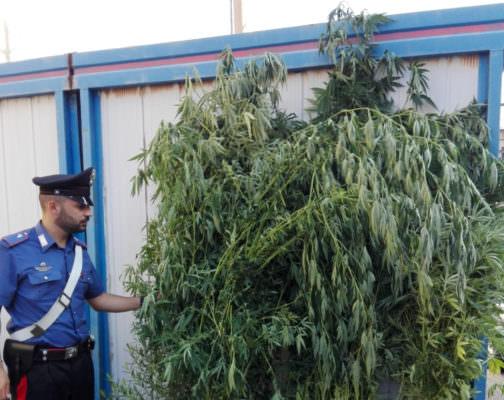 In tre beccati mentre annaffiavano piante di droga: scoperta una piantagione