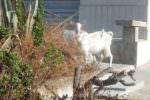 """Incredibile in via Dante Alighieri, due capre """"pascolano"""" indisturbate da tre giorni: le erbacce nel """"menù"""""""