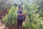 Scoperta piccola piantagione di canapa indiana: indagini in corso per individuare i responsabili