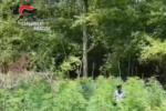 Droga, VIDEO del ritrovamento e della distruzione di una piantagione di canapa indiana